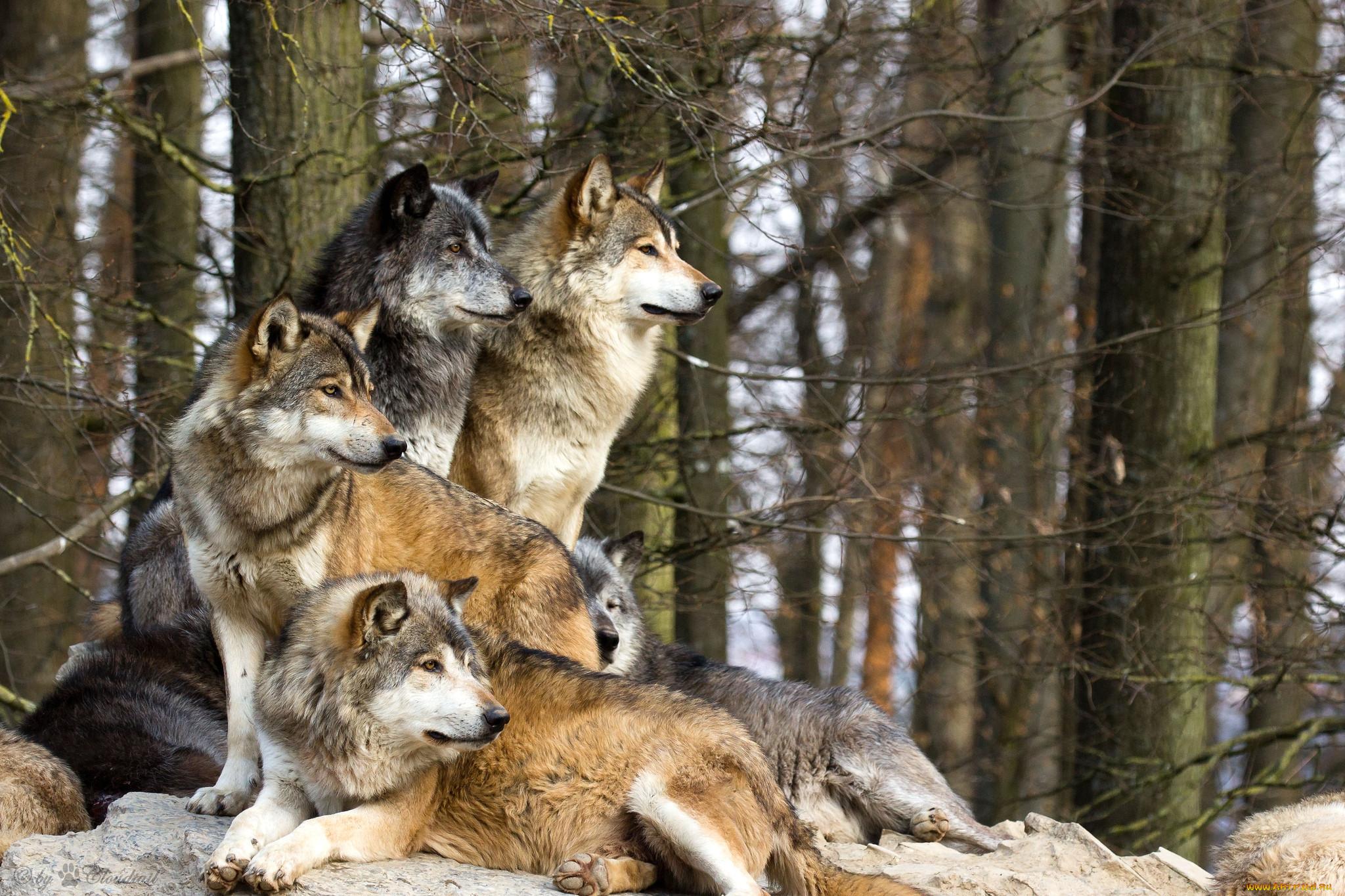 Животные волки койоты шакалы обои